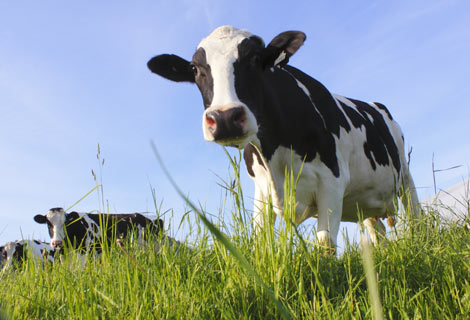 agricultural cow